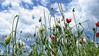 Wild Thing !! (jo.misere) Tags: poppys klaproos clouds wolken blauw blue wild