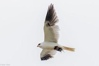 White Tailed Kite 1/3