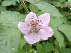 Bramble (Sharon Hearn) Tags: flower bramble pink pretty thorns