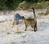 Driveway cat/fox/scrub jay games (Bob and Diana Nelson) Tags: hillcounrycameraclub outdoorphotography grayfox feralcat scrubjay
