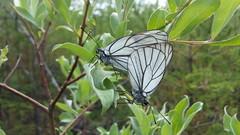 Aporia crataegi (Nicholas_Hunter) Tags: aporia crataegi blackveined white pieridae lepidoptera insecta arthropoda animalia samsung gtn7100