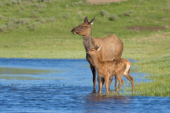 Keeping Watch (Amy Hudechek Photography) Tags: elk calf mother young mom baby wildlife nature amyhudechek yellowstone national park haydenvalley water lake evening spring june nikond810 nikon200500f56