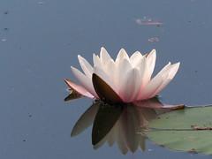 Seerose (hugoholunder) Tags: wasser natur seerose wasserspiegelung blatt