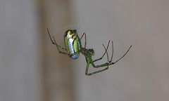 Side View (Kaptured by Kala) Tags: leucaugevenusta orchardorbweaver garlandtexas backyard deck newspeciesforme greengold closeup bug arachnid silk spidersilk web