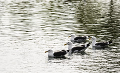 In Formation (pbdimages) Tags: gull bird animal lake waves water alignment tandem fowl patterns
