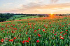 My local poppy field sunset (LongLensPhotography.co.uk - Daugirdas Tomas Racys) Tags: poppyfield rollinghills british colour cotswold cotswolds country countryside english evening farm field gloucestershire green landscape longlensphotography oxfordshire poppy red rolling rural setting summer sun sunset wheat daugirdas canon canon5dmarkiii stacked 5d bloom poppies glyphosate roundup pesticides weed