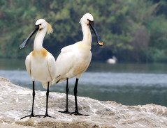Eurasian Spoonbills (Birdwatcher18) Tags: eurasianspoonbills birds waders waterbird birder birding nature water