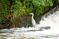 Heron, Lucy's Mill Weir (Dave_A_2007) Tags: ardeacinerea bird greyheron heron nature wildlife stratforduponavon warwickshire england