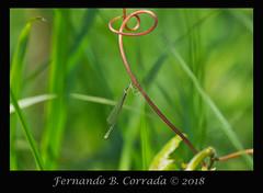 Sedge Sprite (7987) (fbc57) Tags: coenagrionidae ponddamsels nehalleniairene sprites zygoptera damselflies sigma180f28apomacroexdgos nikond850 vermont bristol beavercreek