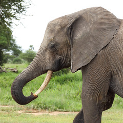 Good To Have ... (AnyMotion) Tags: africanelephant afrikanischerelefant loxodontaafricana elephants elefanten trunk rüssel cleaning säubernd trunkpick portrait porträt 2018 anymotion tarangirenationalpark tanzania tansania africa afrika travel reisen animal animals tiere nature natur wildlife 6d canoneos6d portraitaufnahmen square 1600x1600