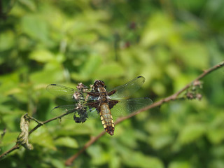 Broad-bodied Chaser.Mature female.