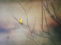 DSCF0840_9129 (Rrea Brown (Photography)) Tags: textures textureart digitalart jaijohnsontexture yellowfinch finch bird summer rreabrownphotography