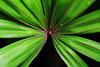 symmetrical by nature (alestaleiro) Tags: leaf symmetry simetria naturaleza nature natura natureza hoja folha foglia verde vert verdi green garden simétrico simetría jardin jardim estaleiro alestaleiro palmtree palmleaf hojadepalmera palmera palm feuille