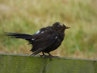 Scruffy Leucistic Blackbird