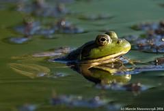 Submerged frog (v4vodka) Tags: frog toad animal nature wildlifegreenfrog americangreenfrog northerngreenfrog amphibia zaba zabazielona ranaclamitans lithobatesclamitans plaz frosch