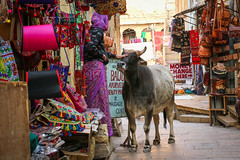 Caress The Sacred Cow (preze) Tags: jaisalmer rajasthan indien india nordindien northindia person frau kuh cow heiligekuh hausrind sacredcow hinduismus hinduism streicheln