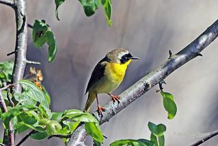Common Yellowthroat 18-0512-7104