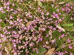 Flores en el parque de San Roque en Ribeira(Coruña-Galicia-España) (2) (Los colores del Barbanza) Tags: flores hojas parque de san roque ribeira coruña barbanza galicia españa spain flowers leaves rosa pink
