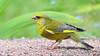 DSC_9282 (sylvettet) Tags: bird 2018 animal yellow jaune verdierdeuropemâle europeangreenfinch carduelischloris