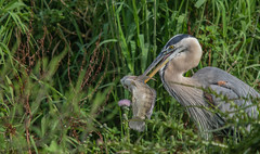 Great Catch (ap0013) Tags: greatblueheron fish myakkariver statepark florida sarasotaflorida eating bird birding heron nature wildlife animal