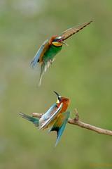 Guêpiers d'Europe (fredpellerin18) Tags: borddeloire guêpierdeurope oiseaux bird beeeater meropsapiaster river fleuve chamaillerie