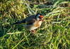 goldfinch with dandelion seeds158_18 (Baffledmostly) Tags: birds pembrokeshire wales goldfinch