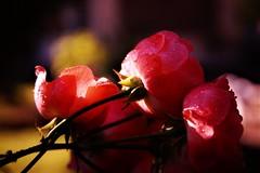 rosée et roses encore endormies (guy dhotel) Tags: fleur flower rose rosée dew