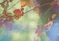 Sunlit Leaves ... (Irene, W. Van. BC) Tags: sunlitleaves leaves leaf allleaves fallleaves fallscenes fallfoliage lights lightreflections light sunlight sunlit allnature wonderfulnature beautifulnature gardens outdoors outdoorscenes outlines sky skyscenes 1001nights 1001nightsmagiccity lightandshadows photoart 1001nightsmagicgarden