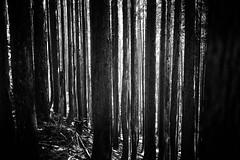 cedars (StefanSpeidel) Tags: japan kyoto sabakaido shiga stefanspeidel
