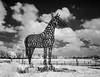 Horseshoes (JPaulTierney) Tags: 2018 june ireland curragh horse horseshoe statue equestrian infrared ir sony nex5 bw blackandwhite