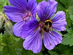 Getting a Buzz (violetchicken977) Tags: bumblebee purplecranesbill wildflowers