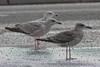 Lesser Black-backed Gull (graellsii)  - 1CY - October - UK (Keith V Pritchard) Tags: 1cy 1stcalendaryear 1stcycle 1stwinter dorset larusfuscusgraellsii lesserblackbackedgull october portlandbill uk gull laridae seagull