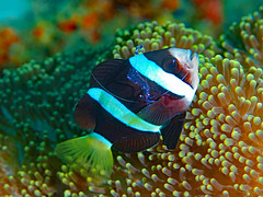 Clarke's Anemonefish with a Sarasvati Anemone Shrimp aboard for a little cleaning (oceanzam) Tags: muck anemone anemonefish shrimp fish nemo scuba diving diver ocean sea shore shoreline water underwater light dark shadow color colorful coral reef travel nature animal philippines