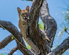 Bobcat - my first sighting! (dbking2162) Tags: bobcat wildlife nature nationalgeographic trees swamp corkscrew corkscrewswamp animal beautiful animals
