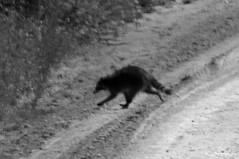 RACCOON 2 (k.nanney) Tags: northernraccoon raccoon procyonlotor carnivores procyonid mammal texasmammals texaswildlife hagermannwr hagermannationalwildliferefuge graysoncounty sherman texas tx nikon d800 tamronsp150600mmf563divcusd kennethnanney kennanney nanney laketexoma redriver wildliferefuge centralflyway