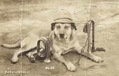 """c. 1930 Real Photo Postcard No. 23 - """"SPORT"""" Dog Macot at Military Camp Petawawa, Ontario (Treasures from the Past) Tags: petawawa camppetawawa military ontario canada mascot dog bugel"""