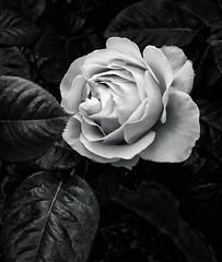 Rose (martincarlisle) Tags: rose flowers oliverslanding furrycreek britishcolumbia bc canada seatoskyhighway highway99 plants leaves canonm6 blackandwhite captureonepro11 niksilverefexii monochrome