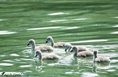 Le club des six :-) (Jean-Daniel David) Tags: cygneau cygne bébé petit eau oiseau oiseaudeau lac lacdeneuchâtel yvonand reflet nature six vert gris grosplan closeup suisse suisseromande vaud volatile