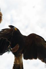 IMG_0873 (TvdMost) Tags: fotografieworkshop harrisshawk parabuteounicinctus valkerijschaap woestijnbuizerd birdofprey roofvogel