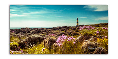 Sea Pinks at St Johns (RonnieLMills 5 Million Views. Thank You All :)) Tags: sea pinks flowers st johns point lighthouse rossglass killough county down coastal plants