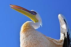 Namibie 2018 - Walvis Bay (philippebeenne) Tags: africa afrique namibie namibia walvisbay oiseaux birds
