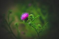 Thistle ... (Julie Greg) Tags: flower thistle colours garden park purple nature england kent plant fujifilm