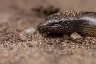 Anniella pulchra (Northern California Legless Lizard)