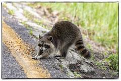 Hungry Raccoon (dkangel) Tags: raccoon hungry