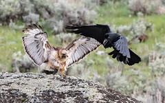 Food Fight (matthewschonert) Tags: red tailed hawk raven bird prey bop birdofprey ynp yellowstone national park yellowstonenationalpark wildlife fight flying wings redtailedhawk pestering pester nature wyoming wy united states usa