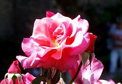 Meinen Jesum lass ich nicht (amras_de) Tags: rose rosen ruža rosa ruže rozo roos arrosa ruusut rós rózsa rože rozes rozen roser róza trandafir vrtnica rossläktet gül blüte blume flor cvijet kvet blomst flower floro õis lore kukka fleur bláth virág blóm fiore flos žiedas zieds bloem blome kwiat floare ciuri flouer cvet blomma çiçek