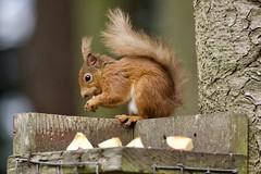 Red Squirrel (georgehart64) Tags: digital ef100400mmf4556lisiiusm zoomlens westhill carniewoods fauna canon70d canon redsquirrel aberdeenshire aberdeen scotland