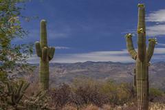 saguaro pair (jimmy_racoon) Tags: 70200 f4l is canon 5d mk2 rincon mountains saguaro national park arizona cactus desert landscape tucson 70200f4lis canon5dmk2 rinconmountains saguaronationalpark
