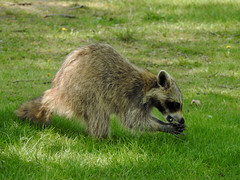 A female raccoon on Bate Island in Ottawa, Ontario (Ullysses) Tags: raccoon female bateisland ottawa ontario canada spring printemps ratonlaveur procyonlotor