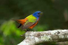 Painted Bunting (Earl Reinink) Tags: bird animal wildlife songbird bunting color nature blue green orange paintedbunting spring outdoors woods earl reinink earlreinink paint painted wood tree outside wild